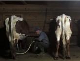 德国一农场奶牛放屁致甲烷超标引发爆炸